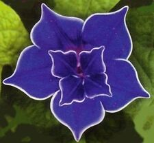 Morning Glory Blue picotee 5 seeds  * Easy Grow * Rare * Gorgeous  CombSH D21