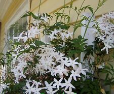 Jasminum polyanthum Pink or Winter Jasmine Pint Plant FREE SHIP