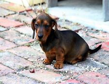 Metal Magnet Miniature Dachshund Puppy On Stone Patio Dog Dogs Puppies Magnet