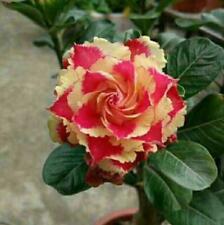 """5 pcs Desert Rose Flower Adenium obesum Seeds """"Ice cream"""" #A084"""