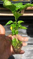 Gentleman Hot Pepper live plants (Aji Caballero)