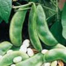 Lima Bean, Henderson Bush, NON Gmo,organic 500+ Seeds, Great Tasting and Healthy