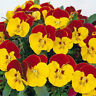 50 Pansy Seeds Faces Red Bicolor Pansy Seeds FLOWER SEEDS