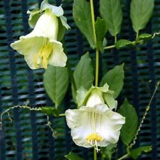 Cobaea scandens White - 15 seeds - Half Hardy Annual