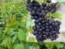 Vitis vinif. Isabella Erdbeertraube Weinrebe Tafeltraube Weintraube Winzersorte