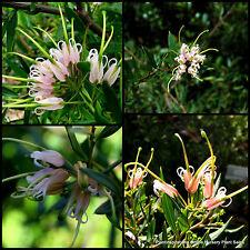 8 Grevillea Forest Rambler Native Hedge Groundcover Garden Plants Hardy Flowers