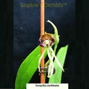 SOI93 Encyclia cochleata Bare Root Miniature T328