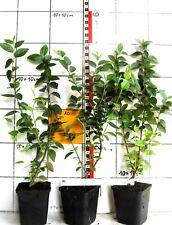 Cotoneaster wardii  -  seltener Zwergmispelstrauch aus Tibet, reichfruchtend