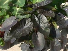 Colocasia plant Kona Coffee elephant ear NEW