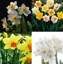 400Pcs Mixed Daffodil Double Narcissus Duo Bulbs Seeds Spring Plant Flower BT80