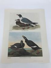 John James Audubon Folio Plate 366/367 Laughing Gull White Scoter Limited 750