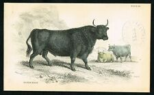1840 West Highland British Kyloe Cattle, Hand-Colored Antique Print - Lizars