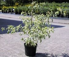 Cornus alternifolia Argentea - Etagenhartriegel - Pagodenhartriegel - Weißbunter