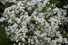 Gypsophila Paniculata White Festival Star 100mm Pot Plants Pack x3 SPECIAL