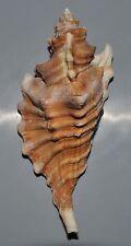 5191 Cymatium femorale w/o - 128 mm - f+++ - Bahamas