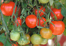Tomato Gardeners Delight - Long Trusses with Clusters of 6-12 Tomatoes 15 Seeds!