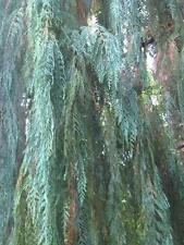Kashmir Cypress- CUPRESSUS CASHMERIANA - 15 Seeds Trees