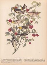 """1942 Vintage AUDUBON BIRDS #395 """"3 WESTERN WARBLERS"""" Color Art Plate Lithograph"""