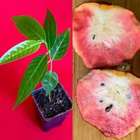 Red Custard Apple Annona Reticulata Potted Plant Tropical Tree