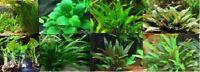 lot 8 plantes a racines aquarium anubia cryptocoryne echinodorus vallisneria