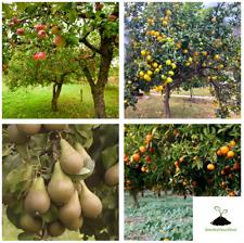 🍋FRUIT TREE SEEDS🍊4,ORANGE SEEDS🍎4,APPLE SEEDS🍐4,PEAR SEEDS🍋4 LEMON SEEDS