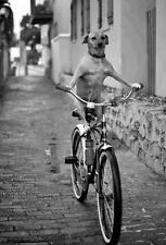 Unusual, Vintage, DOG RIDING BICYCLE/4X6 B&W Photo Reprint