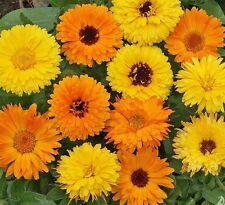 Calendula Pacific Beauty Doubles Mix - Appx 1200 seeds - Annuals & Biennials
