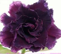 "5 pcs Desert Rose Flower Adenium obesum ""Purple Warrior"" Seeds #A030"