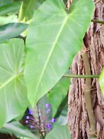 3x PHILODENDRON - TROPICAL INDOOR/OUTDOOR LARGE CUTTINGS 20-30cm Leaf Size!