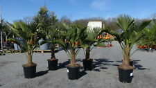 Palme winterhart Trachycarpus Wagnerianus Wagner Hanfpalme Top-Qualität