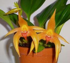 Bulbophyllum Jersey´ Liberty ORO Star ´ XL Planta Orquídea Orquídeas
