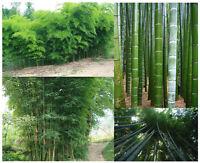 Chin. RIESENBAMBUS Samen - 60 (!) Stück - Moso Bambus - Winterhart / Sichtschutz