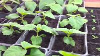 5000 Paulownia Shantong hybrid graines, seeds,zaden,samen,semi,sementes,semillas