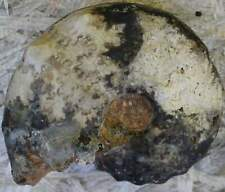 Surriceras Ammonite Fossil!