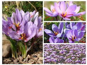 5 Crocus Sativus (Saffron Cronus) Flower Bulbs, Size 9/10 cm for Fall Planting