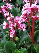 Garten Bergenie Bergenia hybrida Herbstblüte