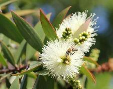 Huile Essentielle Niaouli 10ml pure naturelle Madagascar