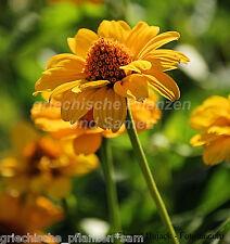TITHONIA DIVERSIFOLIA Sonnenblumen-tree 10 Semillas MUY RARO PERENNE