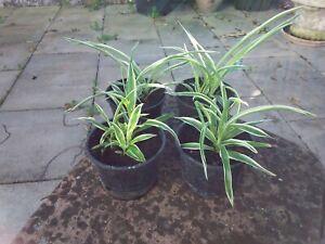 4 kleine Grünlilien
