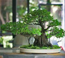 3 Ficus Religiosa Tree Seeds Sacred Fig Beautiful Leaf Bonsai Potted Plant Decor