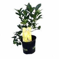 "Meyer Lemon Tree Fruiting Plant 8""Pot Indoors Outdoor Garden Live Houseplant"