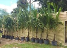 Coconut Palm Tree Cocos Nucifera 7-10' Ft 15gal Jamaican Tall Variety Sweet Milk