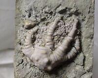Crawfordsville fossil crinoid - Barycrinus stellatus - Edwardsville fm, IN