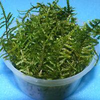 XXL Javamoos 500 ml, Taxiphyllum barbieri ehem. Vesicularia dubyana, Java Moos