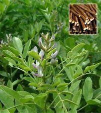 LIQUIRIZIA glycyrrhiza glabra 30 semi seeds