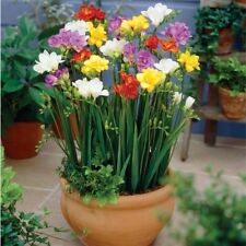 Bolly Bulbs® - Mixed Freesia (12 Bulbs) Plant Spring For Late Summer Flowering