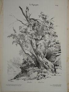 Jules COIGNET 1798-1860 Litho ORIGINALE PAYSAGISTE ARBRE BOULEAU BOTANIQUE 1828