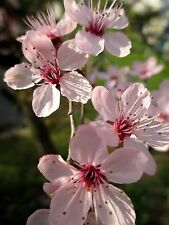 Blutpflaume_Jungpflanze aus Samen_ca. 22 cm_attraktive Blüten_schön für Bonsai