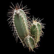 CEREUS frobesii /peruvianus Cactus frost & drought hardy succulent plant in 70mm