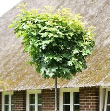 Stämmchen Höhe:  130 cm Dünger Kugeleiche Sumpfeiche Quercus Green Dwarf